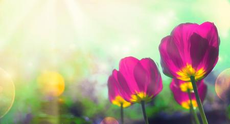 Spring tulips in garden.