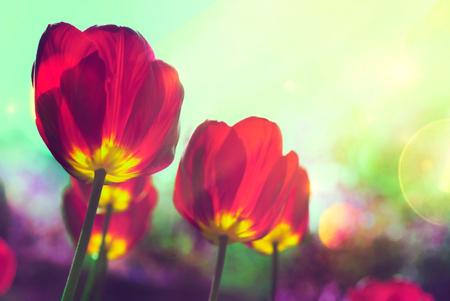 Spring tulips in garden. Garden background with red tulips