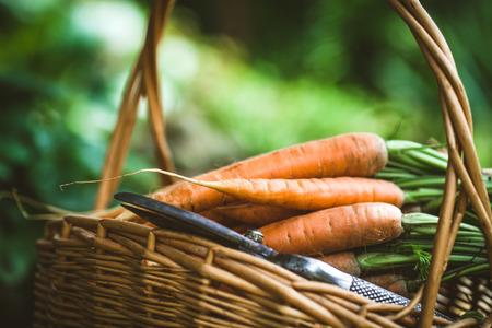 Fresh carrots in basket. Organic vegetables
