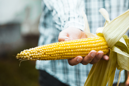 Summer harvest. Farmers hands with fresh corn.