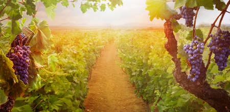 Nature background with Vineyard in autumn harvest. Ripe grapes in fall. Banque d'images