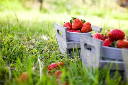 Fresh fruit. Strawberries in grass  Spring fruit. Spring nature 스톡 콘텐츠