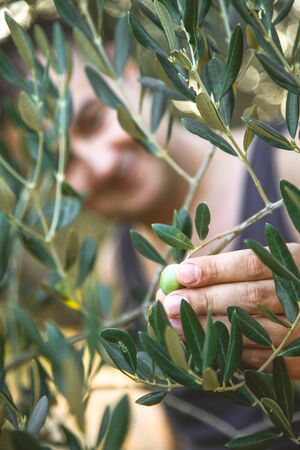 Farmer is harvesting and picking olives on olive farm. Gardener in Olive garden harvest. Olives garden