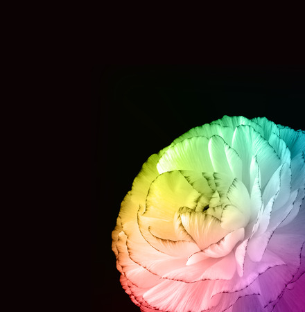 Rainbow Colored Dahlia on Black Background photo
