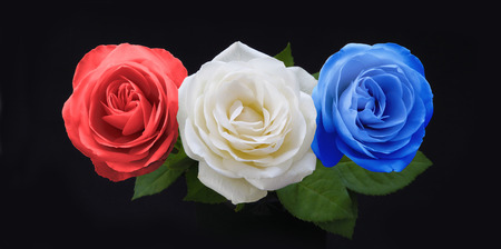 red white blue: Symbolic Red White and Blue Roses - three rose heads in red white and blue on a black background significant to many countries national colors Stock Photo