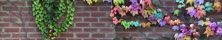 paysagiste: mur de jardin avec arc lierre coloré - mur de briques large avec lierre vert attaché à l'extrémité gauche et multicolore lierre grimpant à travers le côté droit avec un espace pour la copie, idéal pour un jardinier paysagiste