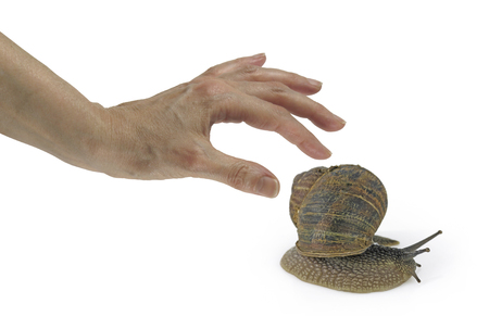 gastropoda: Snail Slime - the latest and hottest skin care product - female hand reaching out to pick up a large snail by the shell, isolated on a white background Stock Photo