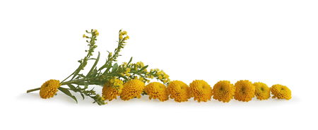 Neat Row of Yellow flower heads - isolated on white background a sprig of wild looking meadow flowers and small yellow flower heads Foto de archivo - 102810522