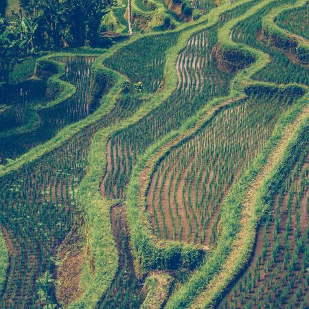 Hillside with rice farming. Worlds most beautiful mountains landscapes shape in nature. Typical Asian green cascade rice field terraces paddies. Ubud, Bali, Indonesia. Same as Chiangmai, Thailand.