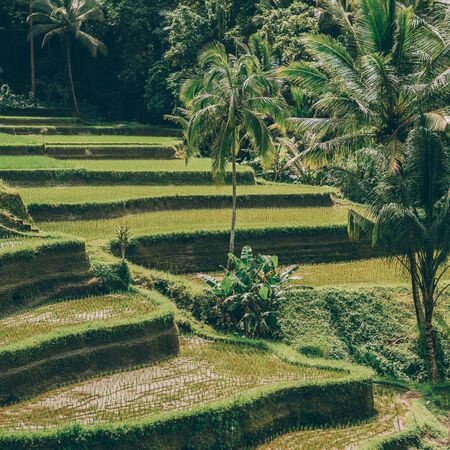 Hillside with rice farming. Worlds most beautiful mountains landscapes shape in nature. Typical Asian green cascade rice field terraces paddies. Ubud, Bali, Indonesia. Same as Guillin, China.
