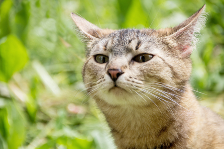The cat sniffs the air in search of prey. A cat walks in the nature and sniffs in search of prey Archivio Fotografico
