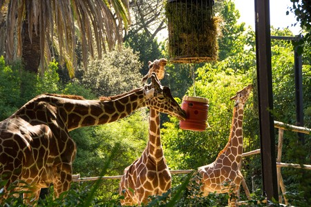 Rome, Italy - May 31, 2018: Giraffes eat hay from feeders. Bioparco zoo at Villa Borghese in Rome. Public zoological park in the heart of Rome.