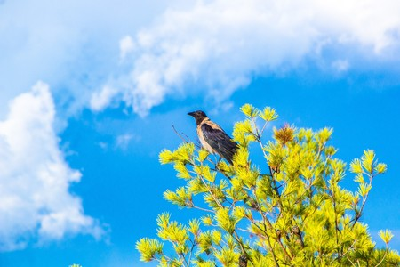 Hooded crow sits on a pine tree opposite a dramatic blue sky. Bird pine tree and sky. Beautiful colorfull image of a Hooded crow in the wild nature.