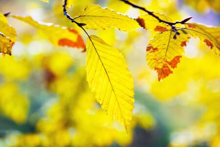 Autumn atmosphere, Autumn leaves on the sun. Yellow leaf hanging on the tree. Autumn blurred background.