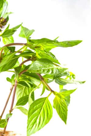 Twig of sweet basil  on white background.