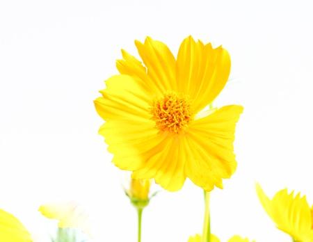 medical  plant: Cal�ndula, una planta medicinal de flores, amarillo sobre blanco