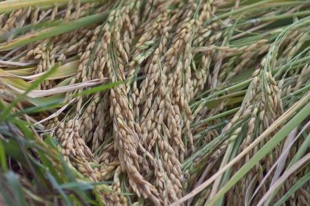 Terraced rice fields in Thailand