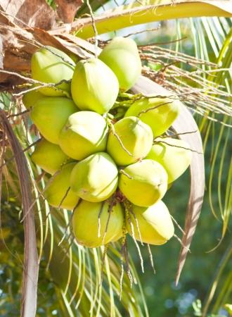 green coconut at tree Reklamní fotografie