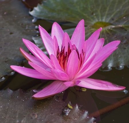 Colorful lotus water lily  in , ubon Thailand