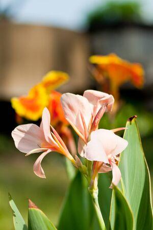 canna flower Stock Photo