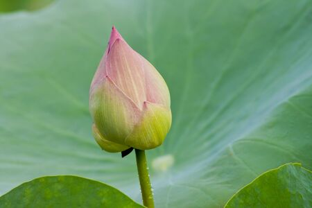 beautiful lotus with water  photo