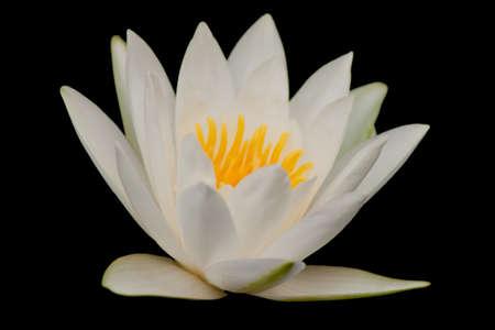 beautiful lotus Stock Photo - 13031709