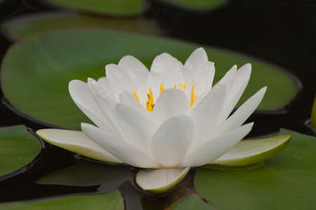 beautiful lotus Stock Photo - 13032013