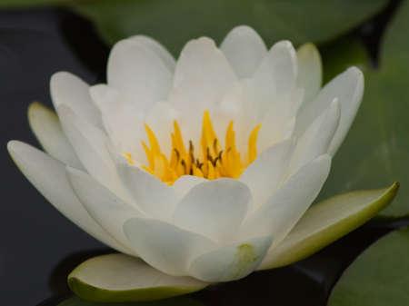beautiful lotus Stock Photo - 13031740