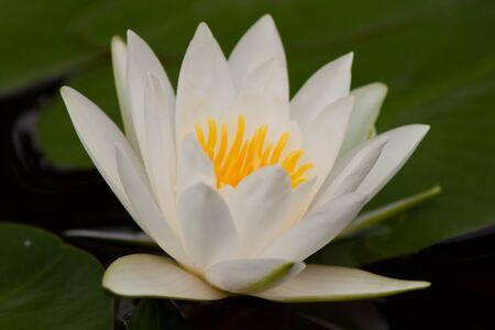 purae: beautiful lotus