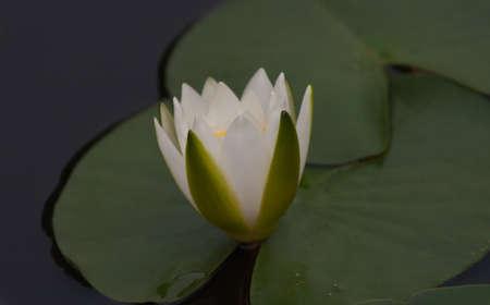 beautiful lotus Stock Photo - 13031724