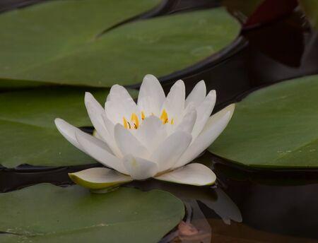 beautiful lotus Stock Photo - 13031711