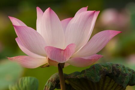 beautiful lotus Stock Photo - 13032049