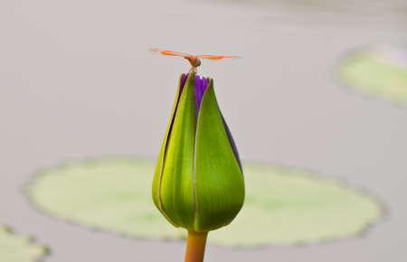beautiful lotus Stock Photo - 13031715