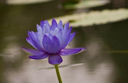 beautiful lotus Stock Photo - 13031737