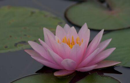 beautiful lotus Stock Photo - 13031736