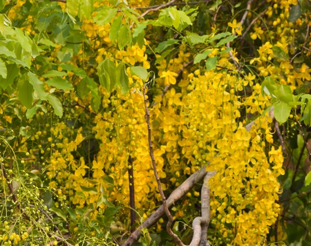 Flowers of Golden Shower Tree bloom in summer   photo