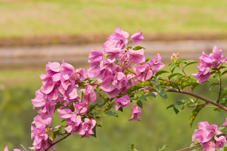 Bougainvillea paper flower Stock Photo - 13032030