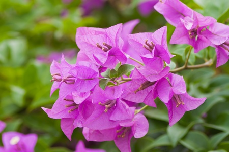 Bougainvillea paper flower Stock Photo - 13032045
