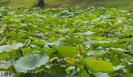 beautiful lotus Stock Photo - 13032274