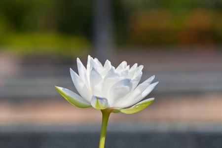 beautiful lotus Stock Photo - 13181880