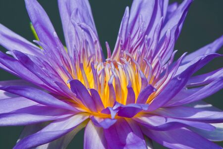 beautiful lotus Stock Photo - 13181969