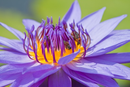 beautiful lotus and bee photo