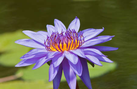 beautiful lotus Stock Photo - 13181900