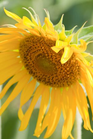 Sunflower  And wind. Sunlight Stock Photo - 13296285