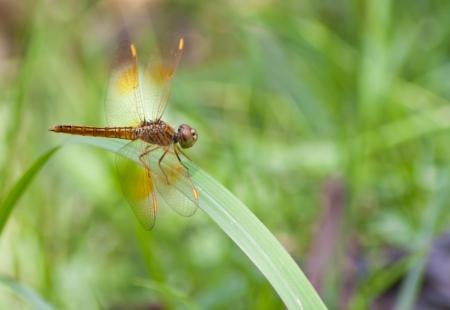 purae: dragonfly