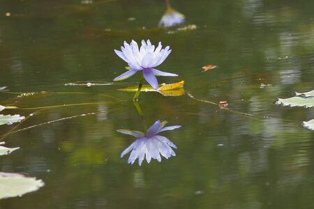 beautiful lotus Stock Photo - 13711263
