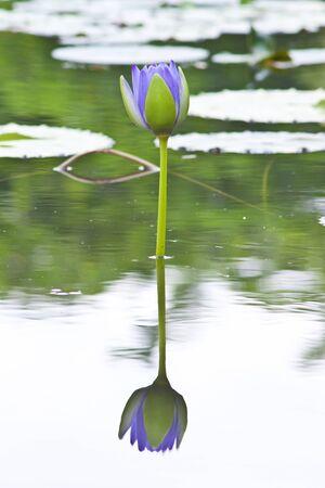 purae: beautiful lotus In the pool Stock Photo