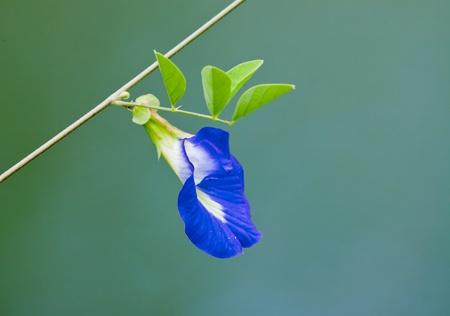 pea shrub: Butterfly pea flower Clitoria ternatea