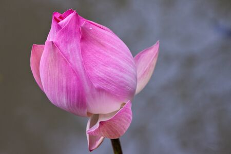 beautiful lotus