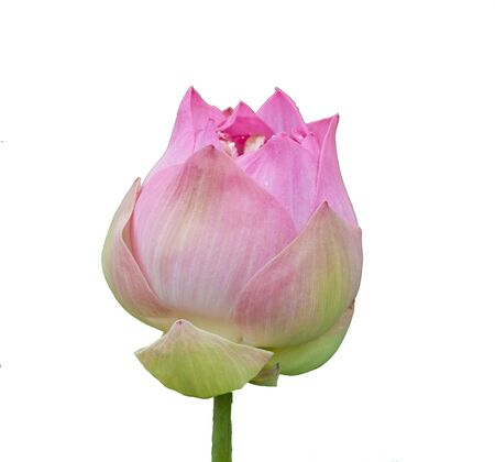 beautiful lotus On a white background